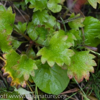 Saxifrage (Micranthes sp)