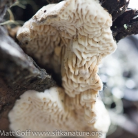 Unidentified Polypore