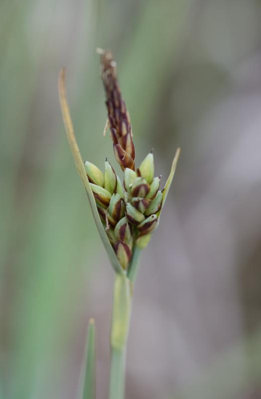 Livid Sedge (Carex livida)