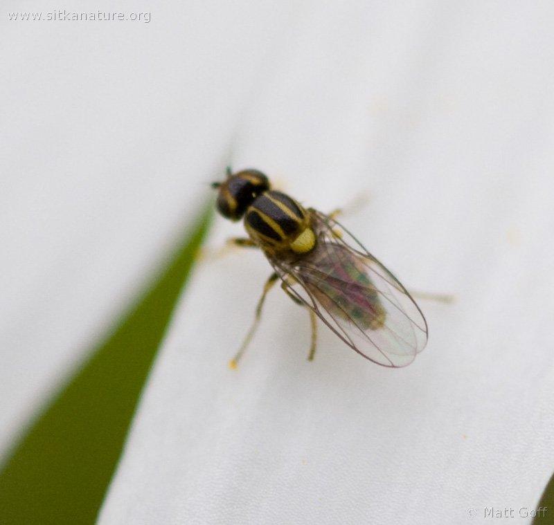 Frit Fly (Choropidae sp)