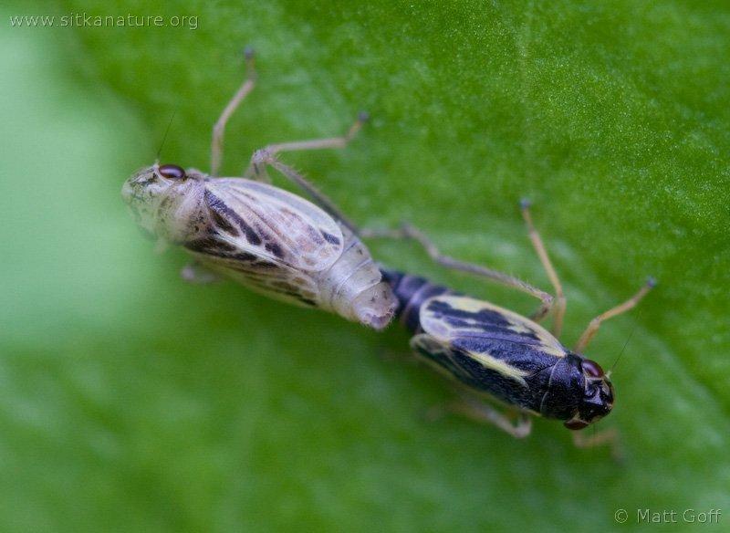 Leaf hoppers (Evacanthus grandipes)