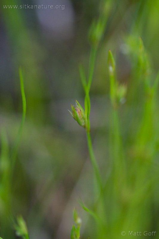 Toad Rush (Juncus bufonius)