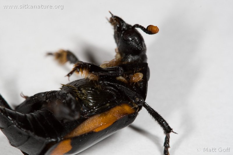 Carrion Beetle (Nicrophorus investigator)