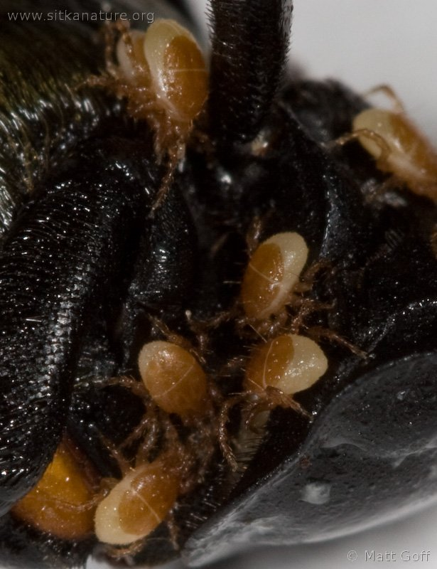 Mites on Carrion Beetle