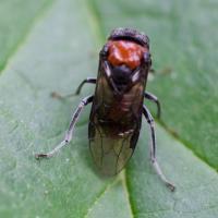 Alder Wooly Sawfly (Eriocampa ovata)