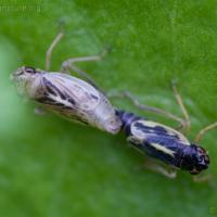 Leaf hoppers (Evacanthus grandipes)