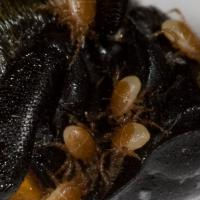 Mites on Carrion Beetle