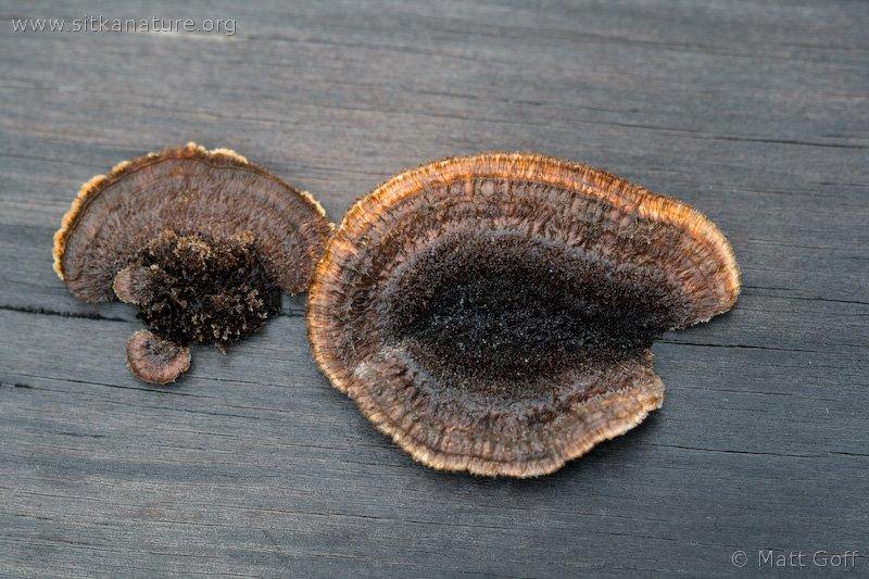 20080722-gloeophyllum_sepiarium-1.jpg