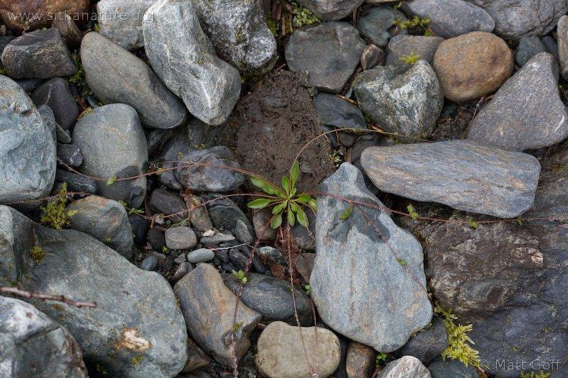 20080722-montia_parvifolia-1.jpg