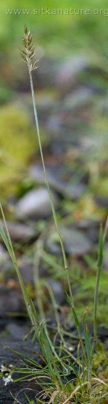 20080722-trisetum_spicatum-2.jpg