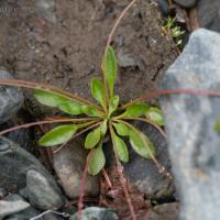 20080722-montia_parvifolia-2.jpg