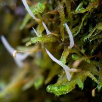 Moss with Growths