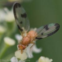 Flutter Fly (Pallopteridae)
