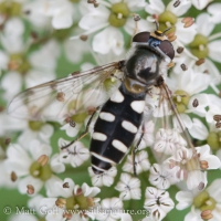 Flower Fly (Melangyna sp)