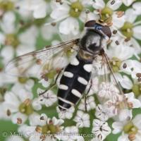 Flower Fly (Melangyna sp)