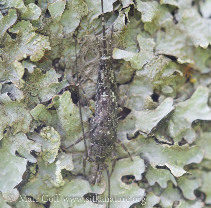 Arctic Bristletail (Petridiobius arcticus)