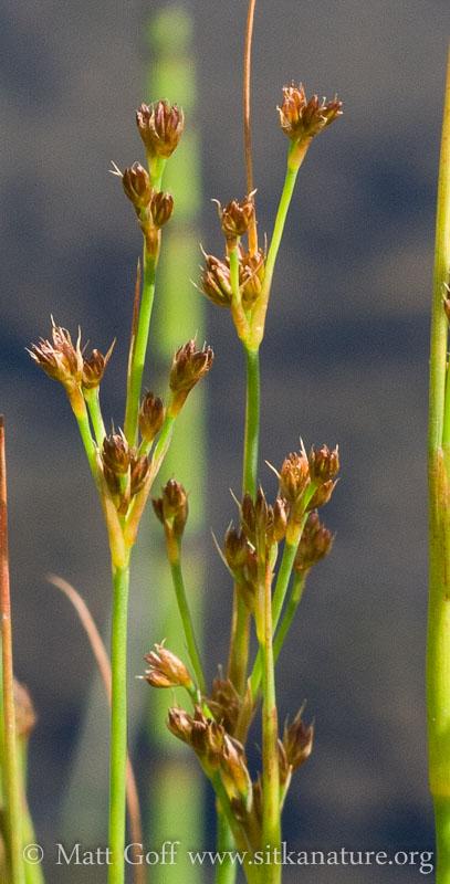 Poverty Rush (Juncus tenuis)