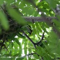 Cedar Waxwing Nest