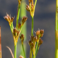 Poverty Rush (Juncus tenuis)
