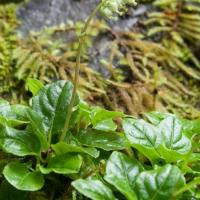 One-sided Wintergreen (Orthilia secunda)