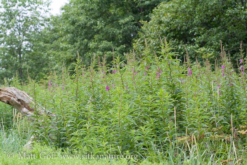 Late Fireweed