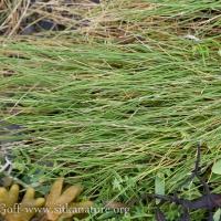 Pacific Alkaligrass (Puccinellia nutkaensis)