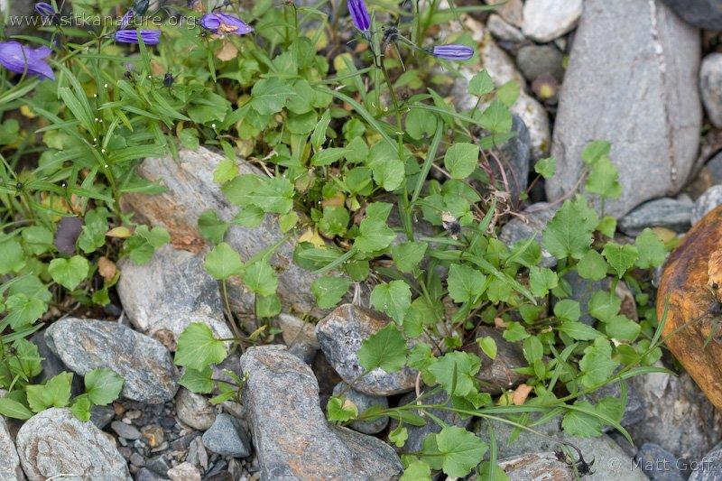 20080804-campanula_rotundifolia.jpg