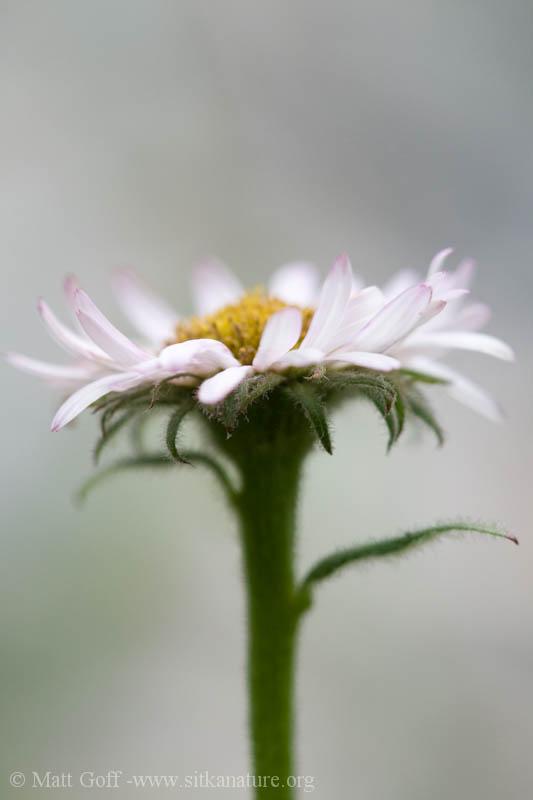 Unidentified Daisy