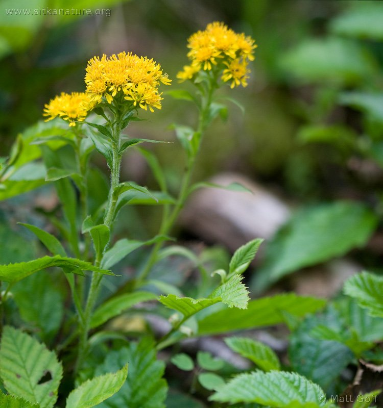 20080804-solidago_multiradiata.jpg