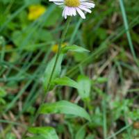 Unidentified Daisy