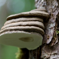 20080804-ganoderma_applanatum-2.jpg