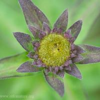 Douglas Aster (Symphiotrichum subspicatum)