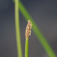 Common Spikerush (Eleocharis palustris)