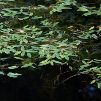 Variable Pondweed (Potamogeton gramineus)