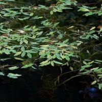 Variable Pondweed (Potamogeton gramineus)