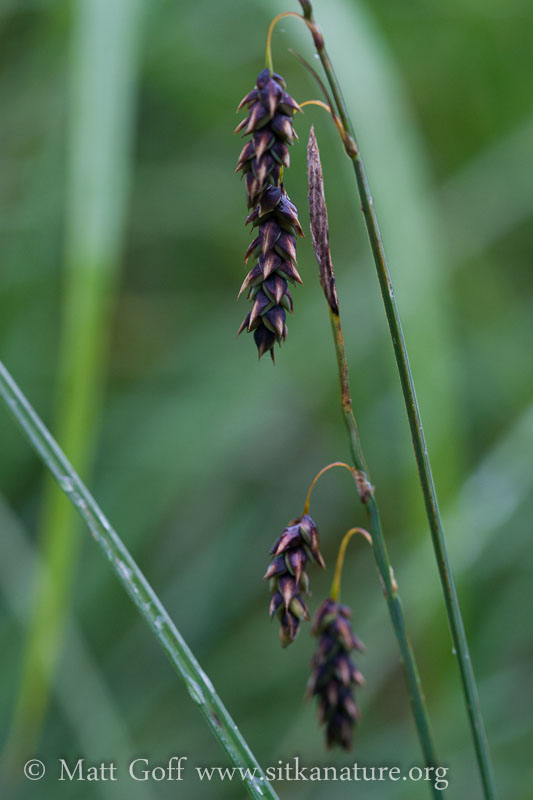 Many-flowered Sedge (Carex pluriflora)