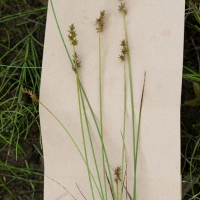 Star Sedge (Carex echinata)