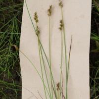 Star Sedge (Carex echinata)