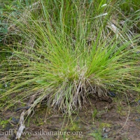 Smooth-stem Sedge (Carex laeviculmis)