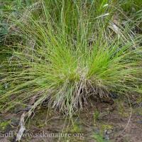 Smooth-stem Sedge (Carex laeviculmis)
