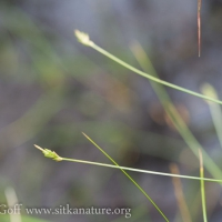 Bristle-stalk Sedge (Carex leptalea)
