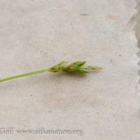 Bristle-stalk Sedge (Carex leptalea)