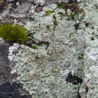 Unidentified Lichen