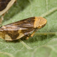 Meadow Spittlebug (Philaenus spumarius)