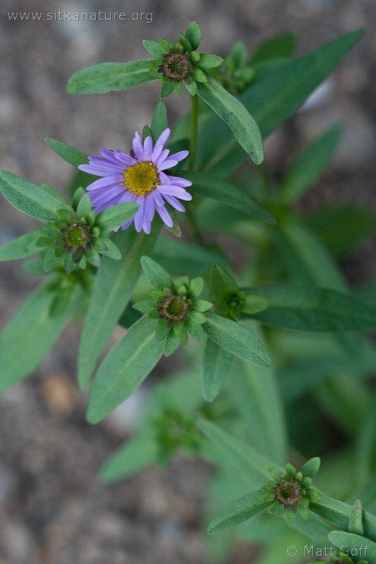 Douglas Aster (Symphyotrichum subspicatus)