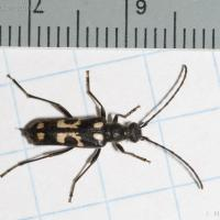 Long-horned Beetle (Brachyleptura vexatrix)