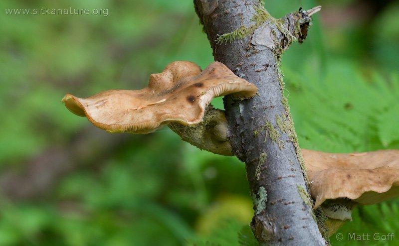 Honey Mushroom (Armillaria ostoyae)