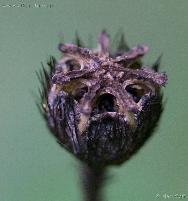 Seed Pod of Rooted Poppy (Papaver radicatum)