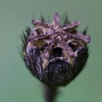 Seed Pod of Rooted Poppy (Papaver radicatum)