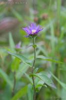 Douglas Aster (Symphyotrichum subspicatum)